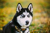 image of eskimos  - Young Happy Husky Puppy Eskimo Dog Sitting In Grass Outdoor - JPG