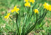 image of monocots  - Beautiful yellow daffodil in the spring meadow - JPG