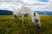 pic of feeding horse  - Fleabitten or piebald grey horse feeding on the mountain pasture with mountain range in background - JPG