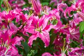 stock photo of stargazer-lilies  - Beautiful Lily flower close - JPG