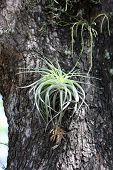 stock photo of epiphyte  - Tillandsia on a tree at the Plaza of Santa Cruz de la Sierra - JPG