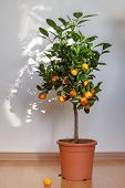 foto of tangerine-tree  - Small tangerine tree in the pot indoors - JPG