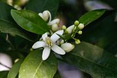 foto of orange blossom  - Orange blossoms tree in early spring - JPG