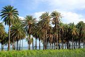 Árboles de Palma y caña de azúcar