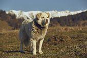 Vigilant White Furry Sheepdog poster
