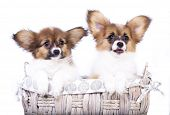 picture of fluffy puppy  - two adorable papillon puppies - JPG