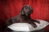 foto of labradors  - Studio portrait puppy labrador on a red background - JPG