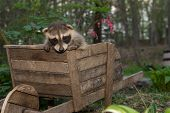 picture of scared baby  - A baby Raccoon playing in the garden - JPG