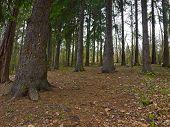 image of fir  - In the fir forest - JPG