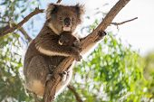 picture of mother baby nature  - Koala baby bear is sitting on the back of her koala mother - JPG