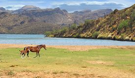 picture of colt  - Wild Horse running in field with colt near river and mountains in background - JPG