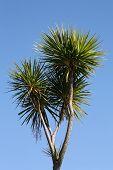 stock photo of australie  - Beautiful New Zealand cabbage tree  - JPG