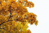 Постер, плакат: Maple Tree With Yellow Leaves Against The Sky