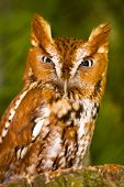 stock photo of scrappy  - Small Screech Owl Gives A Angry Mad Glad - JPG
