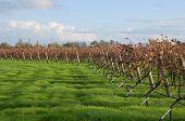 Edge of Autumn Vineyard