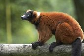 Red Ruffed Lemur