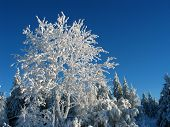 pic of cold-weather  - frosty white winter tree against deep blue sky. biting cold but sunny weather.