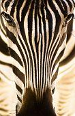 Постер, плакат: Portrait of a zebra