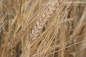Grains Of Wheat On A Wheaten Floor In The Summer poster
