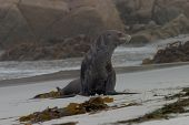 Old Sea Lion On The Beach