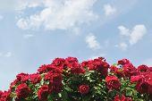 die roten Blüten der Rose gegen Licht blauen Himmel mit weißen Wolken