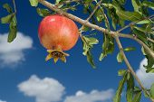 stock photo of sukkoth  - pomegranate on branch against cloudy blue sky - JPG