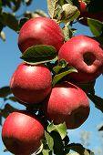 Jonanthan Apples