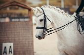 Equestrian Sport. Portrait Sports Gray Stallion In The Double Bridle. Dressage Of Horse In The Arena poster