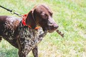 German Shorthaired Dog Is Running On The Lawn Grass In The Park With A Branch In His Teeth poster