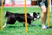 Border Collie Running During Obedience Training, Yellow Sticks poster