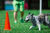 Grey Dog Running Around Red Cone During Obedience Training poster