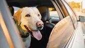 Labrador Retriever Dog Looks Out Car Window Sunset. Concept Animal Travel Road Trip poster