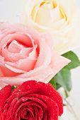 Three Roses Closeup.
