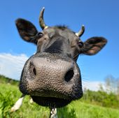 Animal Big Snout. The Portrait Of Cow With Big Snout On The Background Of Green Field. Farm Animals. poster