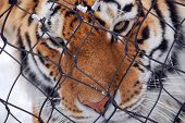 Siberian tiger close up in zoo during winter