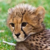 Young Leopard Baby