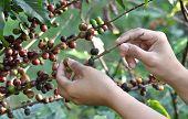 Coffee tree with ripe berries on farm, Bali island