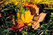 Autumn. Multicolored Maple Leaves Lie On The Grass. Autumn Fallen Yellow Maple Leaf Lies On A Green  poster