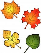 stock photo of fall leaves  - Four Fall Leaves including a maple oak and cottonwood - JPG