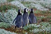 Pinguim de Humboldt