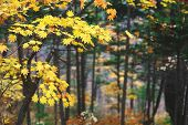 Yellow Maple Leaves Border At Autumn Forest, Blurred Background. Season Changing. A Tree Branch Of M poster
