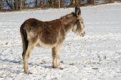 Donkey In Snow