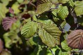 Hazel Red Majestic Leaves - Latin Name - Corylus Avellana Red Majestic poster