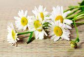 Camomila de flores (Margarida olho de boi)