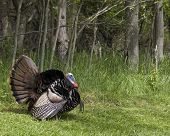 stock photo of wild turkey  - Wild male turkey strutting in the spring - JPG