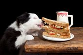 Cachorro de Border collie robar un sándwich de la tabla