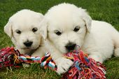 stock photo of golden retriever puppy  - two golden retriever puppies playing with a toy