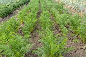 Young Carrot Plant Sprouts Grow On Farm Garden Bed. Growing Organic Carrot Crop - Vegetables Sprouts poster