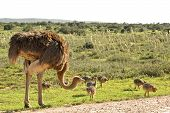 African Ostrich With Young Chickens On Savannah