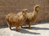 Llamas Twins